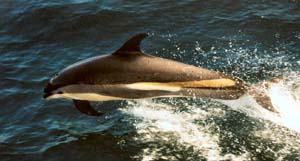 gloucester ma white sided dolphin